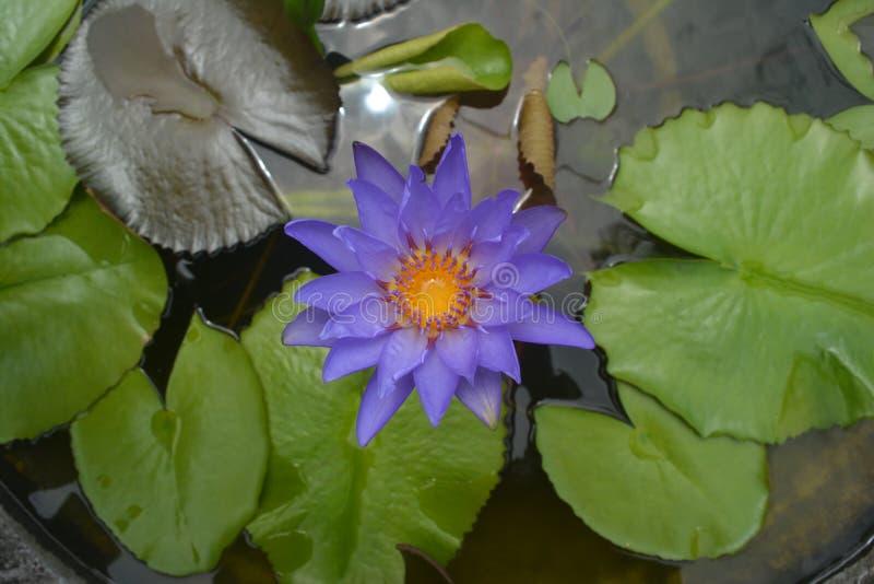 Λουλούδια Lotus στον κήπο στοκ εικόνα