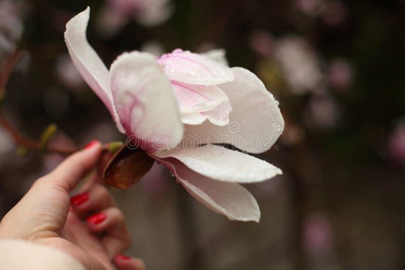 Λουλούδια Magnolia σε έναν κλάδο την πρώιμη άνοιξη στοκ φωτογραφία