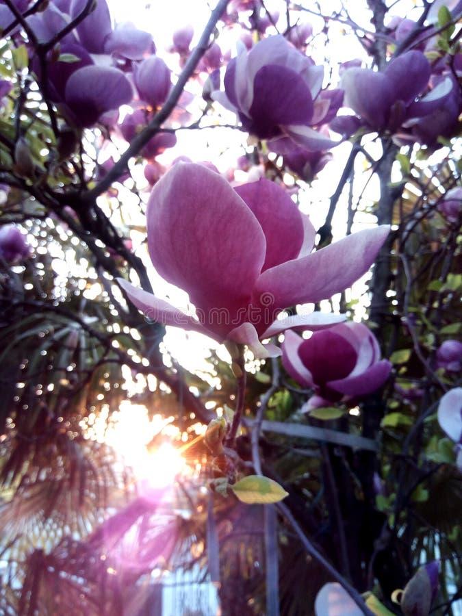Λουλούδια Magnolia στην ελαφριά φωτογραφία ηλιοβασιλέματος στοκ φωτογραφίες