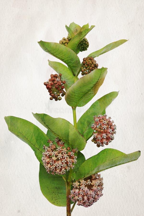 Λουλούδια Milkweed Watercolor στοκ εικόνες