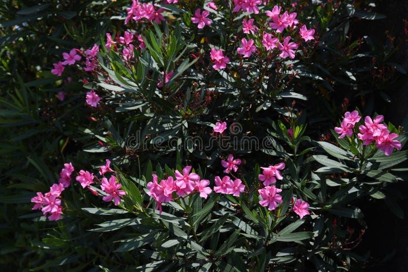Λουλούδια Oleander στοκ εικόνες