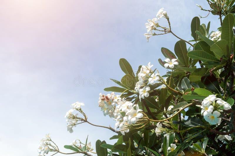 Λουλούδια Plumeria ενάντια σε έναν φωτεινό μπλε ουρανό Δέντρο και θέση Frangipani για το κείμενο στοκ φωτογραφίες με δικαίωμα ελεύθερης χρήσης