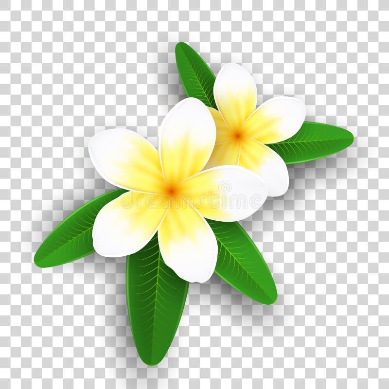 Λουλούδια Plumeria που απομονώνονται στο διαφανές υπόβαθρο Ρεαλιστικά τροπικά λουλούδια Σύνολο εγκαταστάσεων Θερινή συλλογή Ρεαλι διανυσματική απεικόνιση