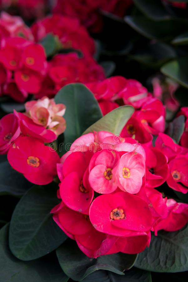 Λουλούδια POI Σηάν στο δοχείο στοκ εικόνα