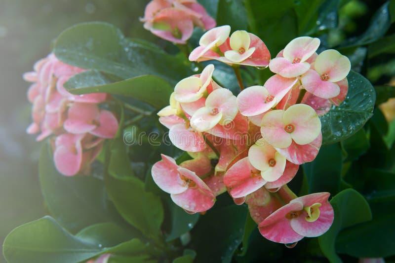λουλούδια POI Σηάν στοκ εικόνες με δικαίωμα ελεύθερης χρήσης