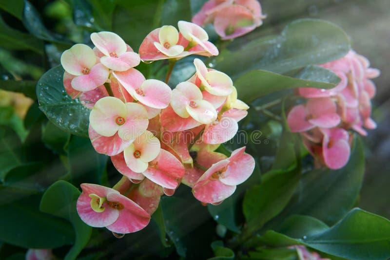 λουλούδια POI Σηάν στοκ φωτογραφία με δικαίωμα ελεύθερης χρήσης
