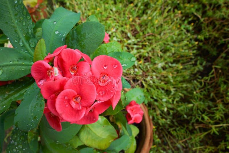 λουλούδια POI Σηάν στοκ φωτογραφία
