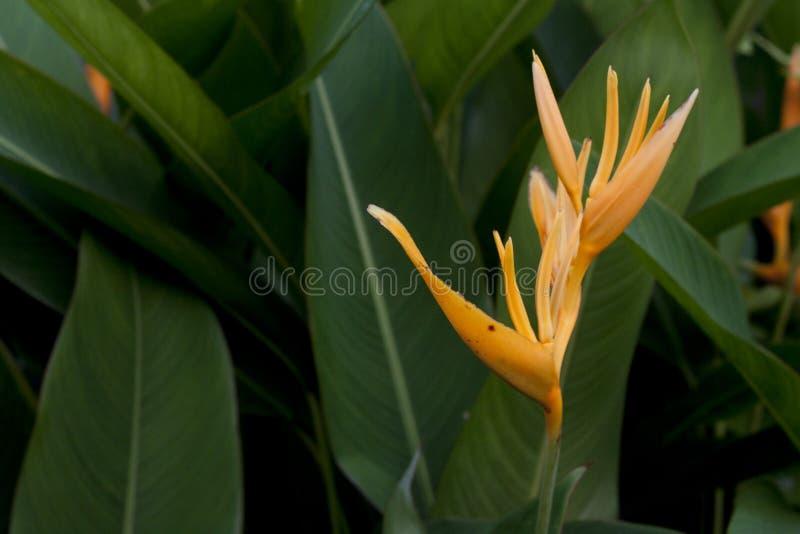 Λουλούδια psittacorum Heliconia στοκ φωτογραφίες