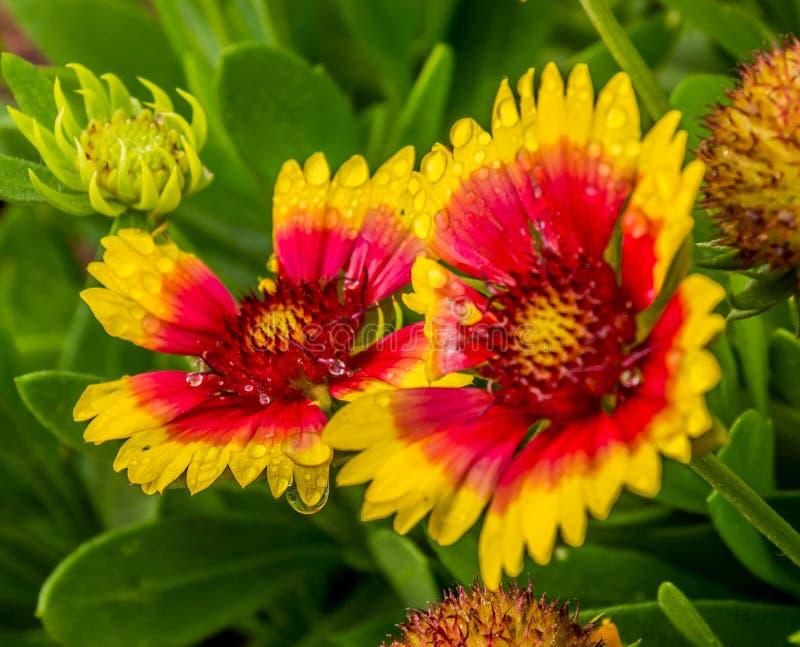 Λουλούδια Pulchella Gaillardia που ψεκάζονται με τη δροσιά στοκ εικόνες
