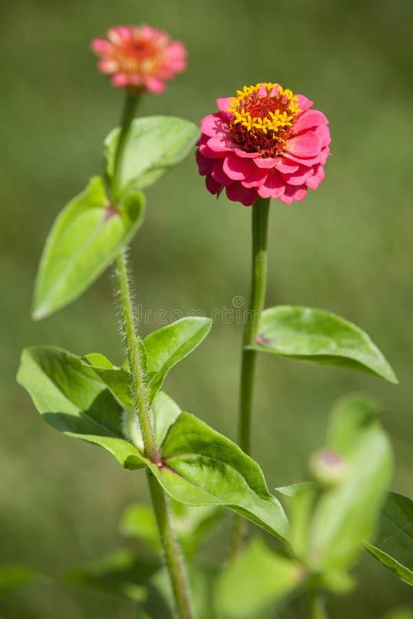 Λουλούδια Rde στον κήπο το καλοκαίρι στοκ φωτογραφία