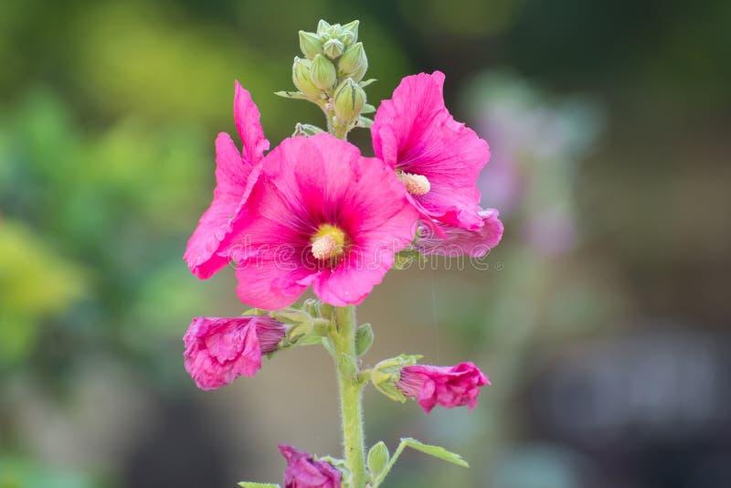 Λουλούδια rosea Alcea Hollyhock στοκ εικόνες