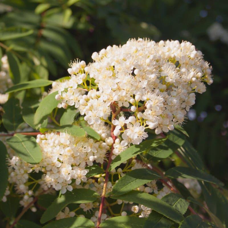 Λουλούδια roundAsh-μούρων σε ένα σκοτεινό υπόβαθρο στοκ φωτογραφίες