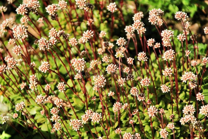 Λουλούδια Sedum στον κήπο στοκ εικόνες
