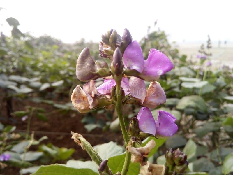 Λουλούδια Sim από τη φυσική χώρα Μπανγκλαντές στοκ εικόνες