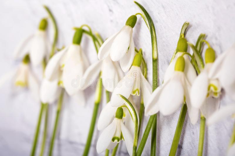 Λουλούδια Snowdrop που απομονώνονται στο άσπρο υπόβαθρο στοκ φωτογραφίες με δικαίωμα ελεύθερης χρήσης