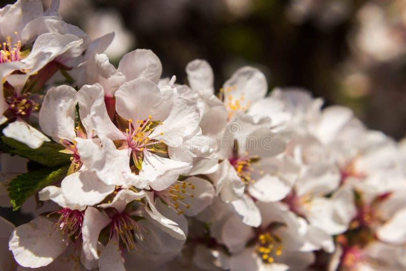 Λουλούδια tomentosa Prunus Άνοιξη και θερμό υπόβαθρο με τα άνθη κερασιών στοκ φωτογραφία