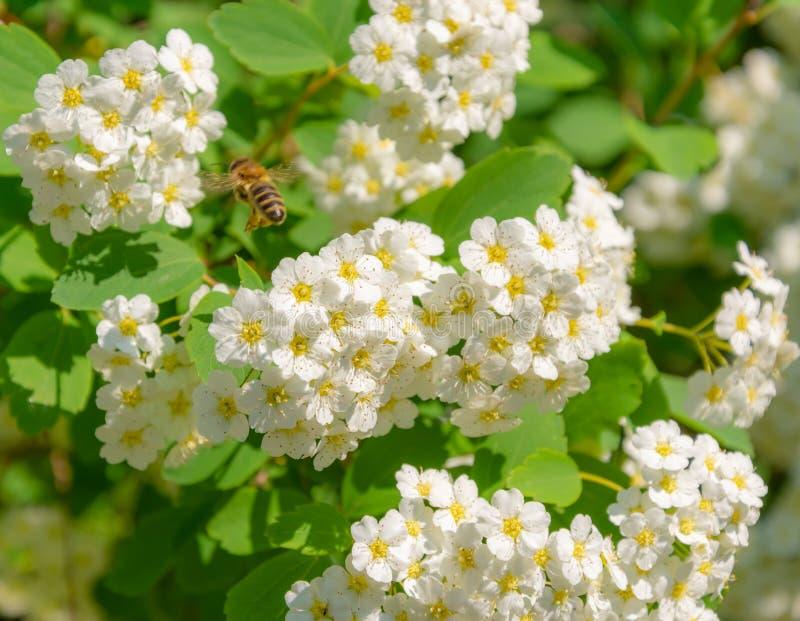 Λουλούδια Whight Spiraea και της μέλισσας στοκ εικόνες