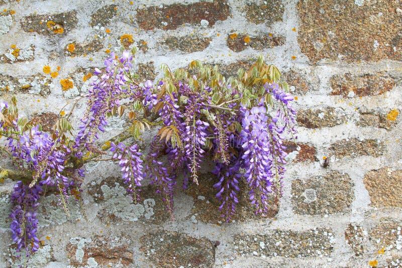 Λουλούδια Wisteria ενάντια σε έναν τοίχο πετρών στοκ εικόνα με δικαίωμα ελεύθερης χρήσης