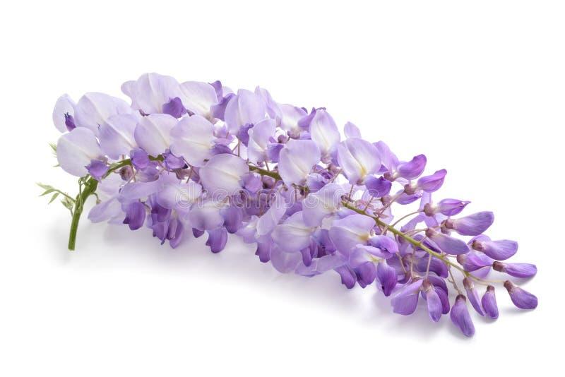 Λουλούδια Wisteria με το άνοιγμα του πράσινου υποβάθρου στοκ φωτογραφίες με δικαίωμα ελεύθερης χρήσης