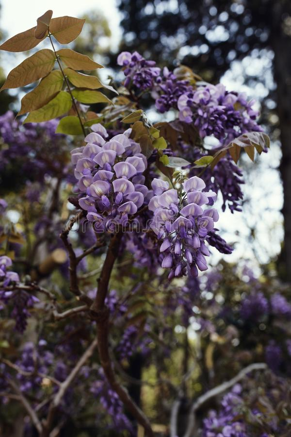 Λουλούδια Wisteria στην πλήρη άνθιση στοκ εικόνα