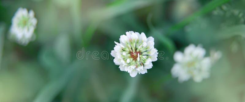 Λουλούδι άσπρου τριφυλλιού που σέρνεται σε έναν θερινό τομέα πρωινού Φρεσκάδα και ψυχραιμία των στις αρχές ωρών στοκ εικόνες