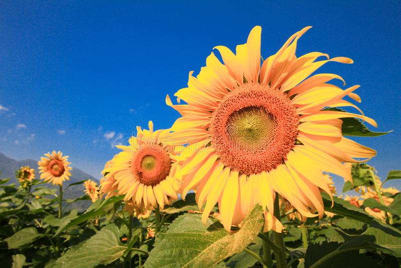 Λουλούδι ήλιων ενάντια σε έναν μπλε ουρανό Όμορφο τοπίο με τον τομέα ηλίανθων πέρα από το νεφελώδη μπλε ουρανό στοκ φωτογραφία με δικαίωμα ελεύθερης χρήσης
