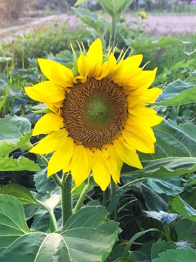 Λουλούδι ήλιων στον τομέα στοκ εικόνα με δικαίωμα ελεύθερης χρήσης