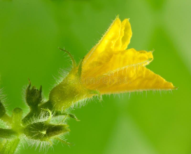 λουλούδι αγγουριών στοκ εικόνα με δικαίωμα ελεύθερης χρήσης