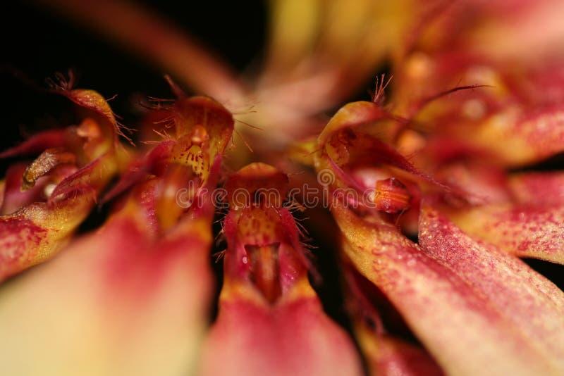 Λουλούδι αραχνών με τα μέρη του χρώματος στοκ εικόνα με δικαίωμα ελεύθερης χρήσης