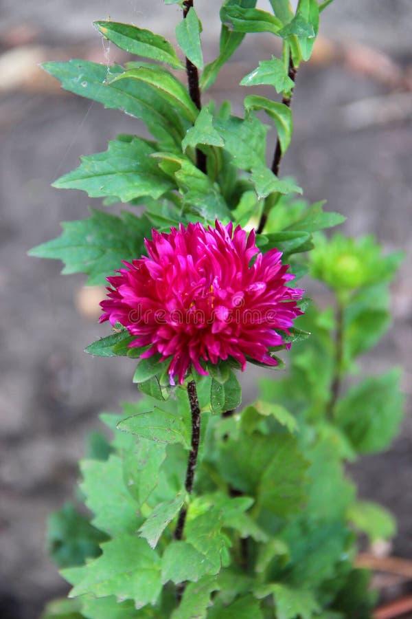 Λουλούδι αστέρων στον κήπο στοκ φωτογραφίες