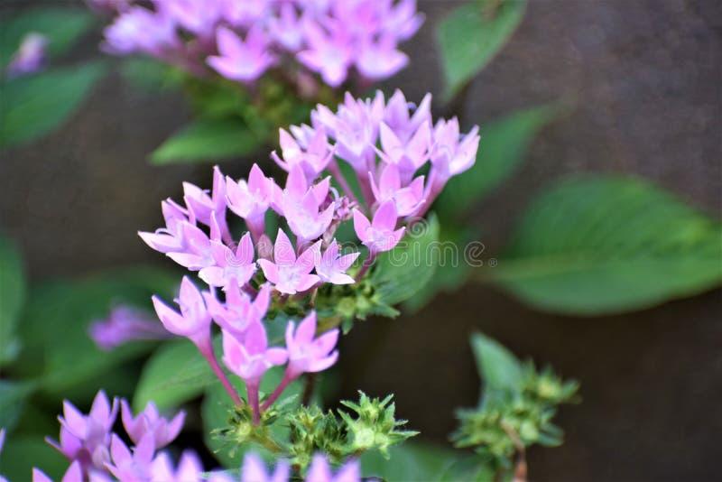 Λουλούδι αστεριών στοκ εικόνα