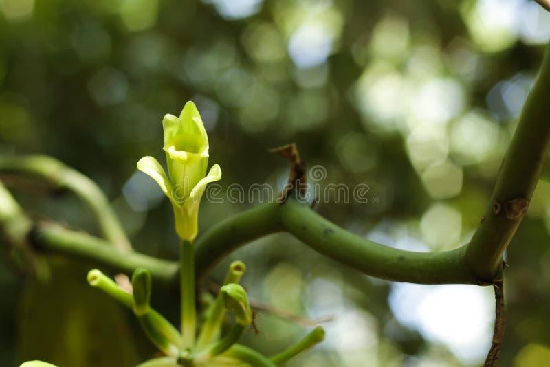Λουλούδι βανίλιας στον τροπικό κήπο, κινηματογράφηση σε πρώτο πλάνο στοκ φωτογραφία με δικαίωμα ελεύθερης χρήσης