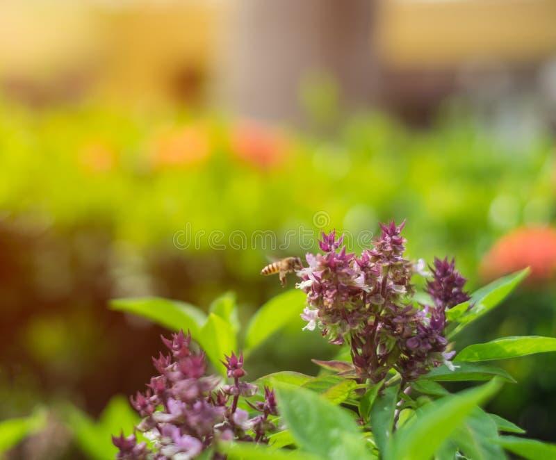 Λουλούδι βασιλικού, μια μέλισσα στο λουλούδι βασιλικού φυτό κήπων στοκ φωτογραφία με δικαίωμα ελεύθερης χρήσης