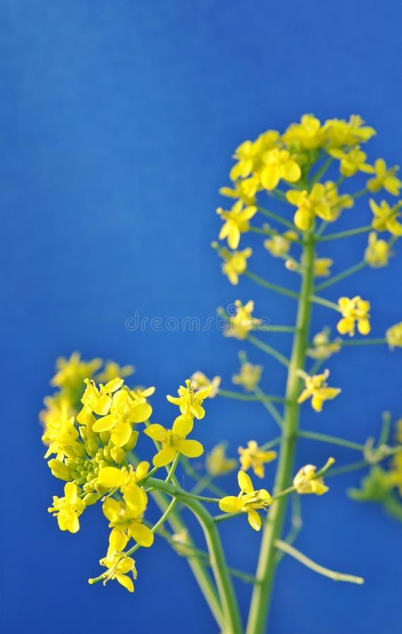 Λουλούδι βιασμών στοκ εικόνα με δικαίωμα ελεύθερης χρήσης