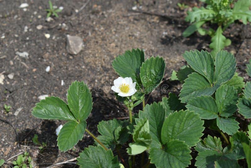 Λουλούδι Βικτώριας στον κήπο το καλοκαίρι στοκ φωτογραφία με δικαίωμα ελεύθερης χρήσης