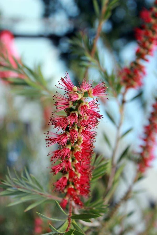 Λουλούδι βουρτσών Callistemon ή μπουκαλιών Κινηματογράφηση σε πρώτο πλάνο του κόκκινου needle-like λουλουδιού στον πράσινο θάμνο  στοκ εικόνες