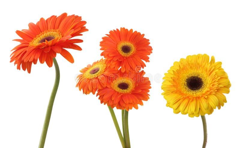 Λουλούδι γαρίφαλων και gerbera που απομονώνεται στο λευκό στοκ εικόνα με δικαίωμα ελεύθερης χρήσης