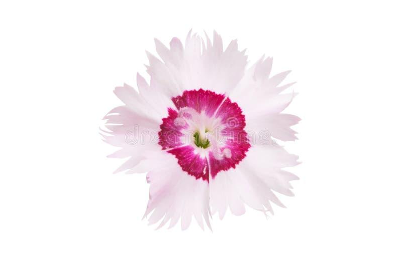 Λουλούδι γαρίφαλων που απομονώνεται στοκ φωτογραφίες με δικαίωμα ελεύθερης χρήσης