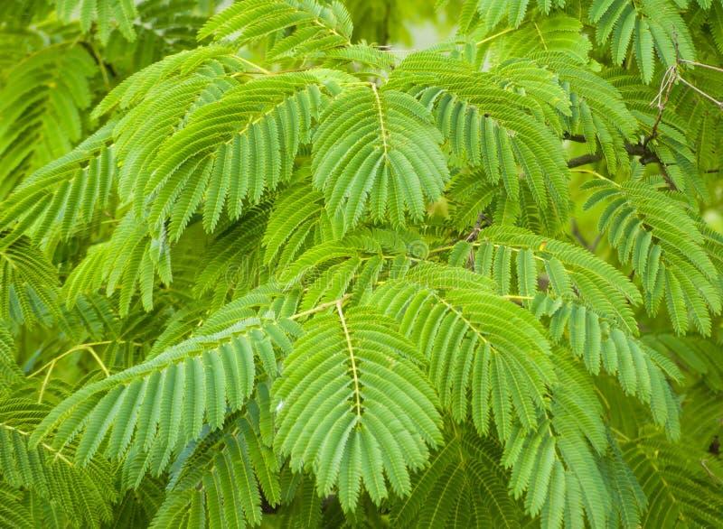 Λουλούδι δέντρων julibrissin Albizia, ρόδινο δέντρο μεταξιού στοκ εικόνες