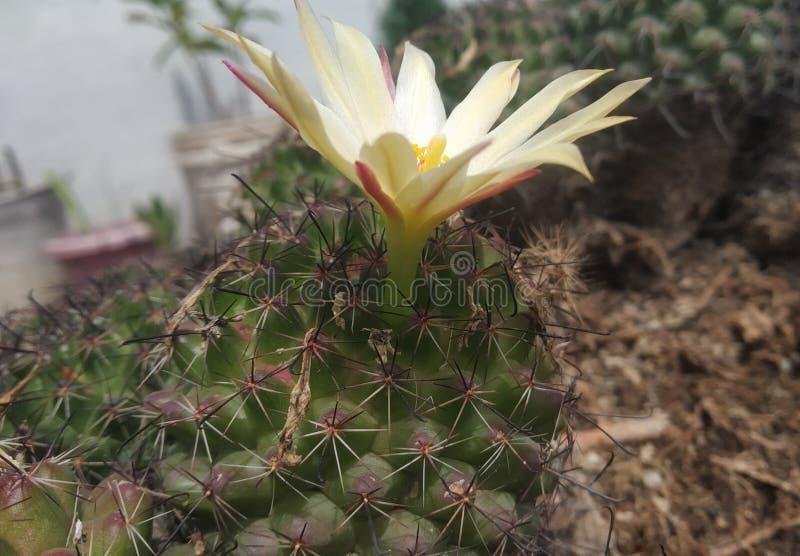 Λουλούδι ενός κάκτου στη στέγη στοκ φωτογραφία
