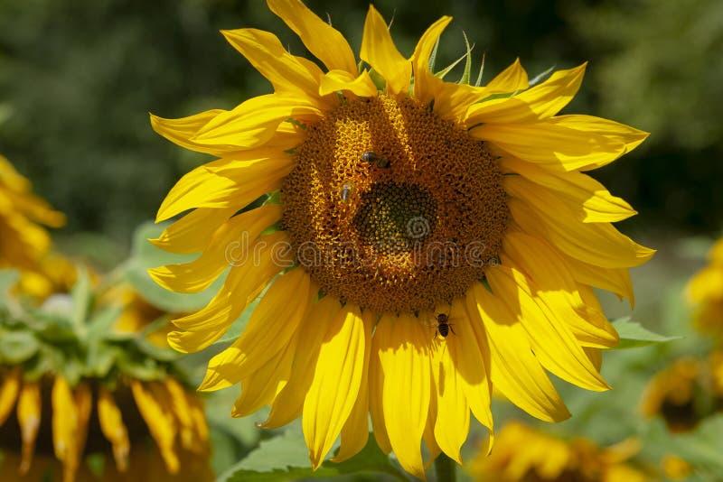 Λουλούδι ηλίανθων με τις μέλισσες, κινηματογράφηση σε πρώτο πλάνο στοκ εικόνες