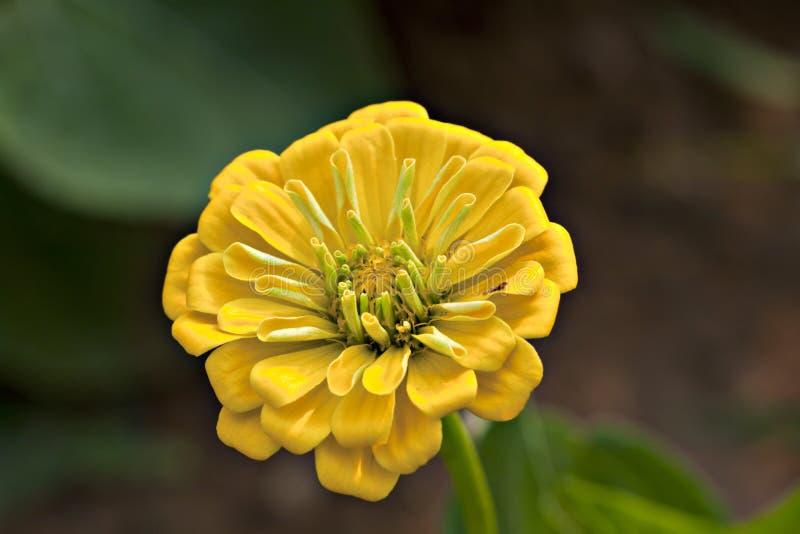 λουλούδι η κίτρινη Zinnia στοκ φωτογραφία με δικαίωμα ελεύθερης χρήσης