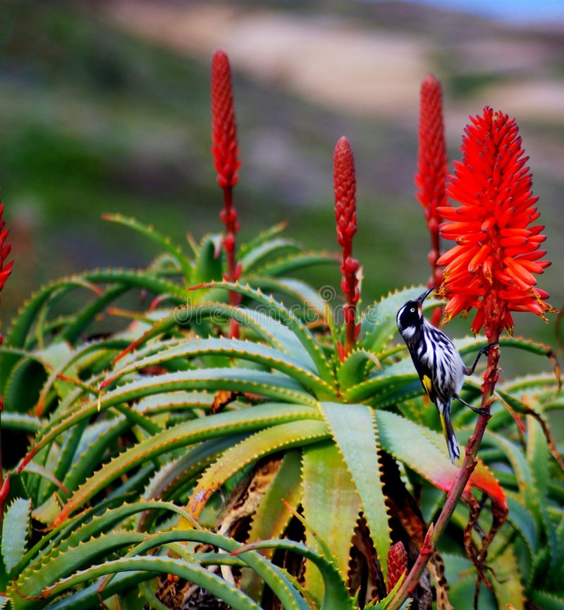 λουλούδι κάκτων πουλιώ&nu στοκ εικόνες