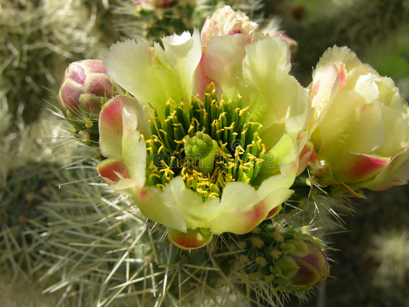 λουλούδι κάκτων στοκ φωτογραφία