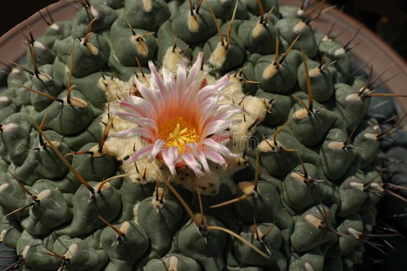 λουλούδι κάκτων στοκ εικόνες με δικαίωμα ελεύθερης χρήσης