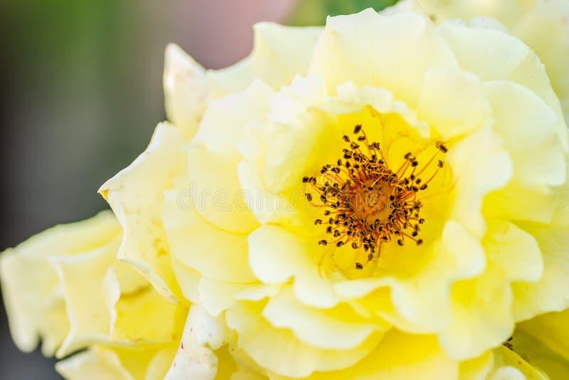 Λουλούδι, κίτρινα τριαντάφυλλα στο φως πρωινού στοκ εικόνες με δικαίωμα ελεύθερης χρήσης