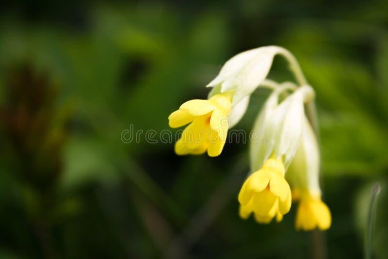 Download λουλούδι κίτρινο στοκ εικόνα. εικόνα από κίτρινος, bloodsuckers - 13189255