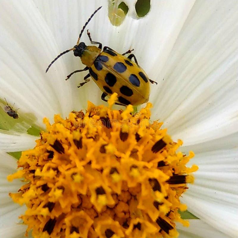 Λουλούδι και ζωύφιο στοκ εικόνα με δικαίωμα ελεύθερης χρήσης