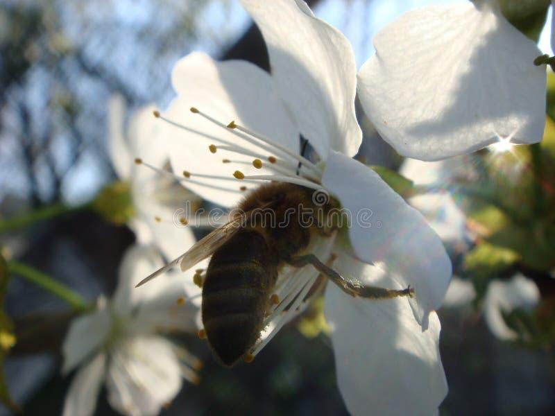 Λουλούδι και μέλισσα δέντρων της Apple Bumblebee μελισσών λουλούδι Sirfide Hoverfly σφηκών Hornet στοκ φωτογραφία με δικαίωμα ελεύθερης χρήσης