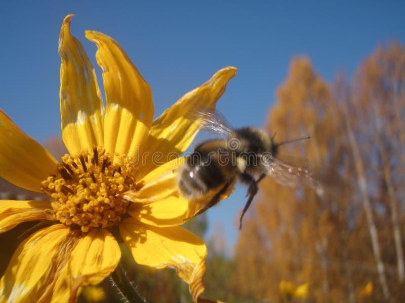 Λουλούδι και Bumblebee στοκ εικόνες με δικαίωμα ελεύθερης χρήσης